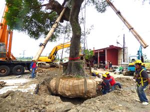 大樹移植前的斷根作業-台中水湳列管老樹移植 Part I