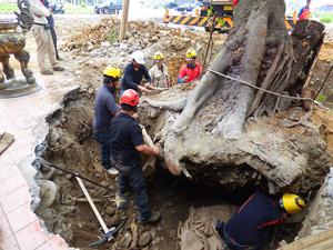 大樹移植與吊掛作業 - 台中水湳列管老樹移植 Part II