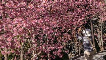 深山秘境千櫻園 粉紅櫻花大爆發